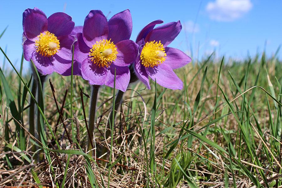 В Стрелецкой степи цветут весенние первоцветы